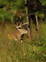 Sika Deer - The Deer Initiative