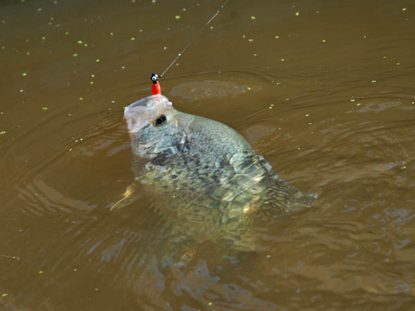 Catching Crappie   Catching Crappie At Reelfoot Lake The Real Deal