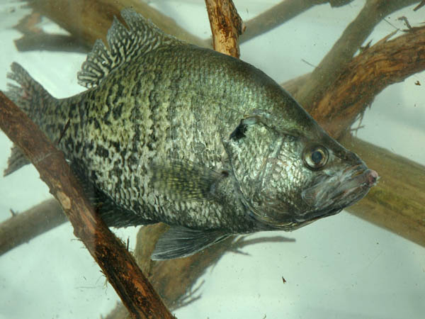Stock your lake with the best biting bass crappie for Keller fish farms