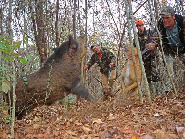 Boar Hunting The Old Fashioned Way With A Spear With John