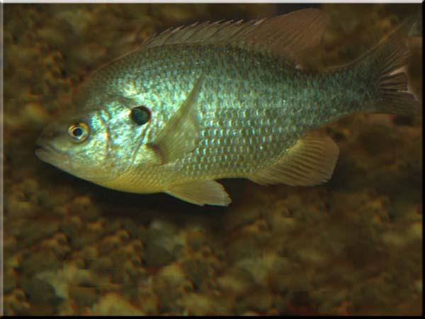 The south 39 s best shellcracker holes for Shell cracker fish