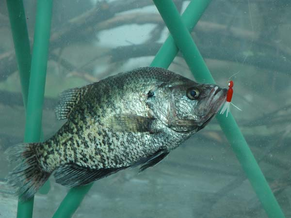 Have a family crappie fishing farm for What is a crappie fish