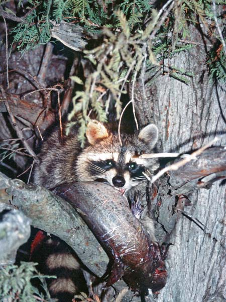 racoon hunting can be a lot more rewarding Train coon hunting dogs: easier than ever for hunting raccoon, but many other dogs can turn out to which can detect old track that has lost a lot of.