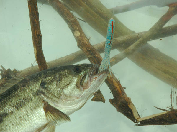 Bass fishing pros 39 tips for catching bass after the spawn for How to catch bass fish