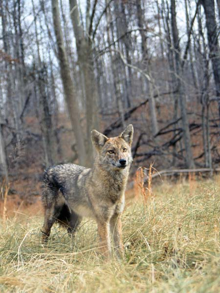 coyotes  helpful predators or deer killers